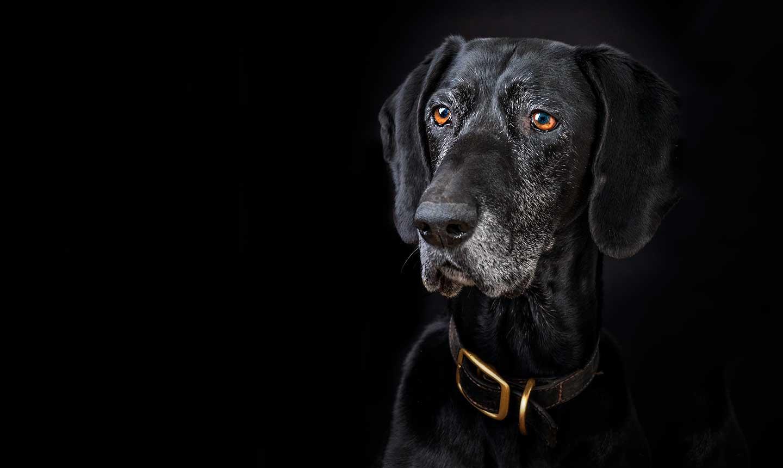 Dog photography of black pointer dog