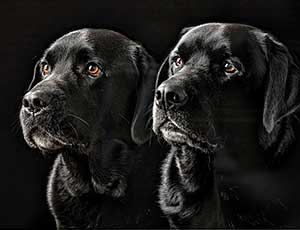 Two Black Labradors