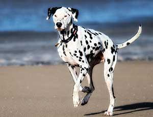 Dalmatian dog beach